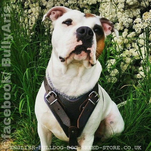 Harness for American Bulldog