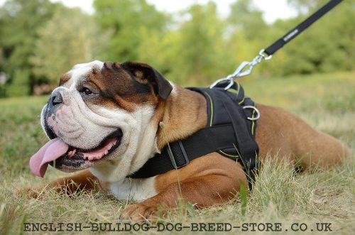 Best English Bulldog Harness