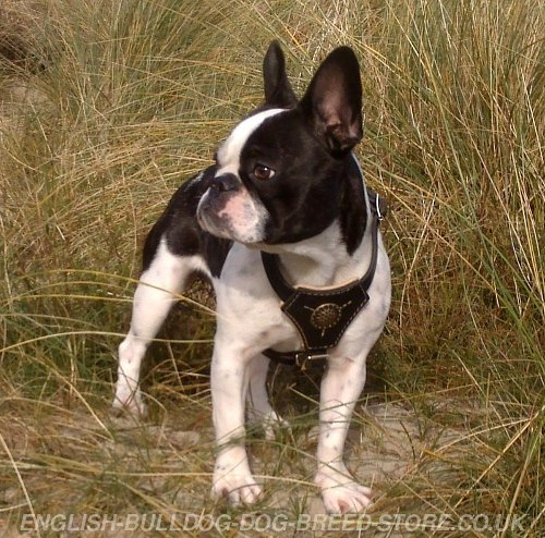 Boston Terrier Leather Harness