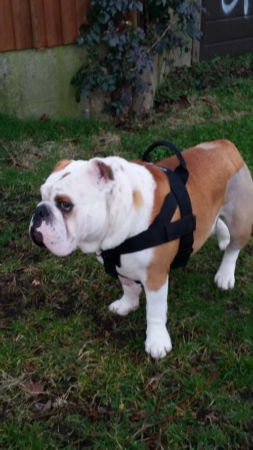 Training Bulldog Harness