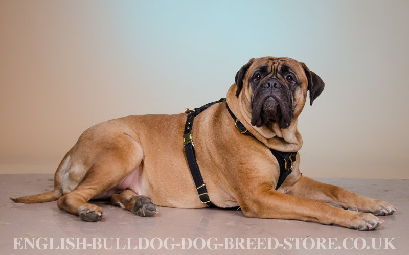 Can A Bullmastiff Be A Service Dog