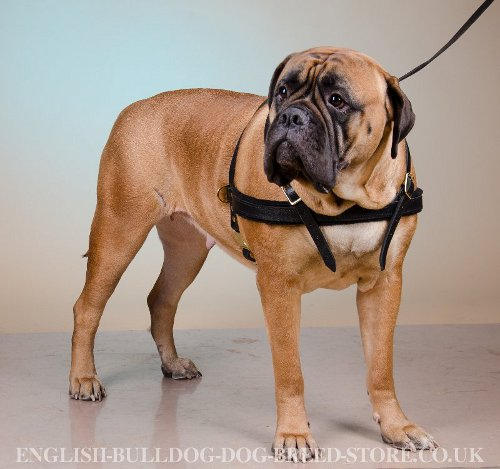 Bullmastiff Obedience Training