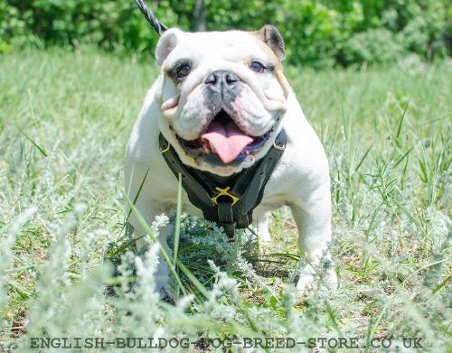 English Bulldog Best Harness