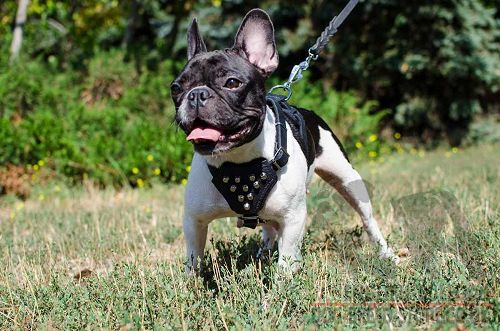 My Puppy Scared of Other Dogs : English bulldog Online UK