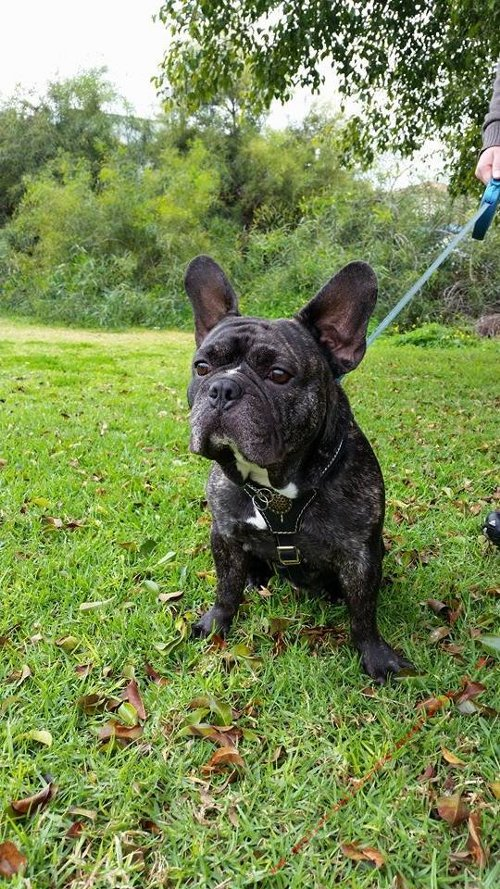French Bulldog Leather Harness UK