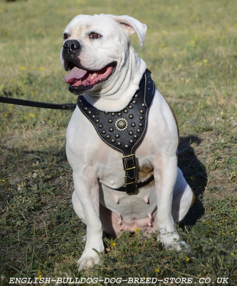Leather Dog Harness For American Bulldog Shows And Rings Big on Real Leather Dog Harness