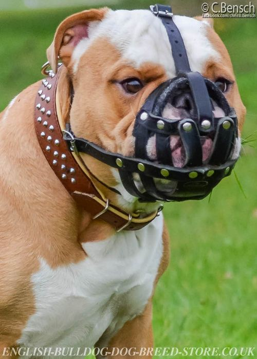 British Bulldog Muzzle