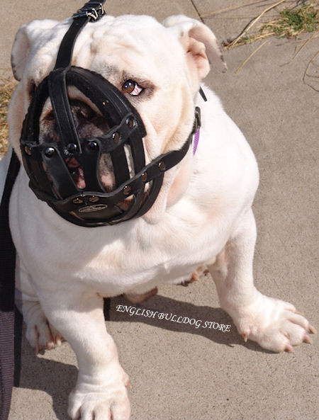English Bulldog Muzzle for Sale