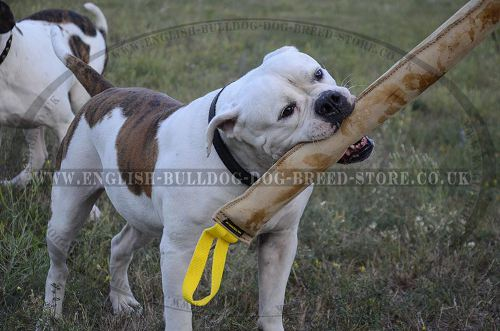 American Bulldog Breed UK