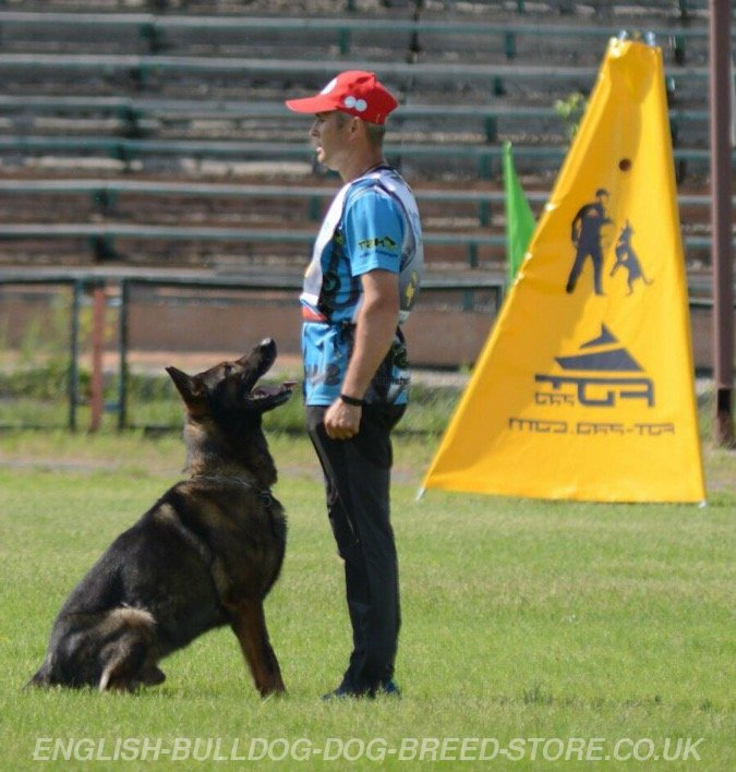 Schutzhund Trained Dogs For Sale Uk