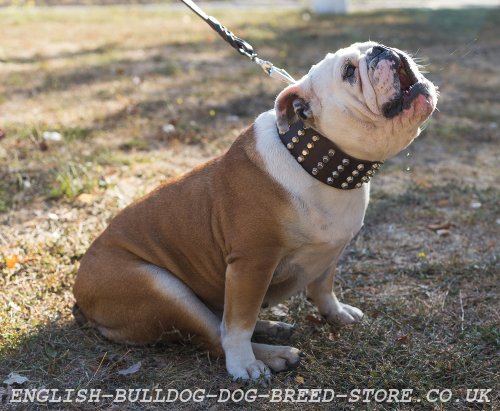 english bulldog training how to train my english bulldog 10 important rules 8912