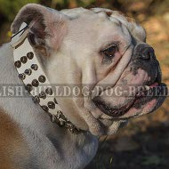 White Leather English Bulldog Collar Rich in Spikes and Cones