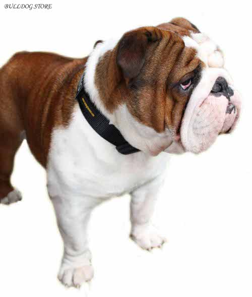 English Bulldog Collars UK