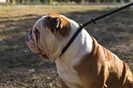 English Bulldog Leash and Collar Set for Obedience and Calm Walk