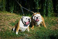 Walking Leather Leash Coupler for Owning Two English Bulldogs
