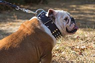Massive Leather Dog Collar Spiked & Studded for English Bulldog