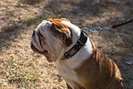 English Bulldog Collar Decorated with Nickel Cones and Plates