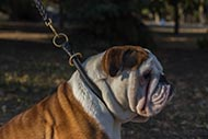 English Bulldog Rolled Leather Dog Collar for Obedience Training