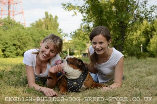 English Bulldog Equipment for Walking and Training