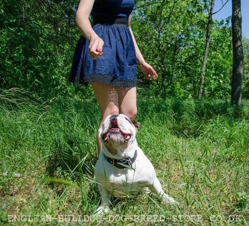 English Bulldog Training to Run the Sit Command