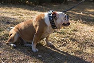 Trendy Dog Collar Studded and Spiked for English Bulldog
