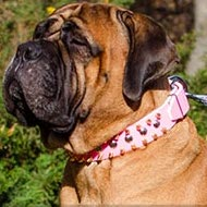 Female Bullmastiff Collar of Pink Leather with Studs and Spikes