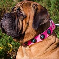 Female Bullmastiff Collar Pink Leather with Blue Stones, Studs
