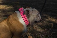 Female English Bulldog Collar Pink Leather with Sparkling Spikes