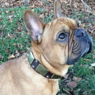 French Bulldog Collar UK