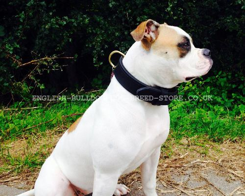 Bestseller! Agitation Dog Collar Leather with Handle for American Bulldog