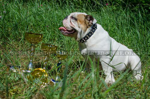 Studded Dog Collar of Genuine Leather for English Bulldog