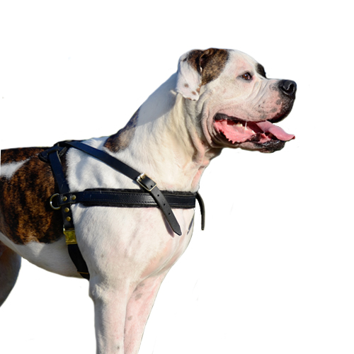 Leather Dog Harness for American Bulldog Pulling, Muscles Growth