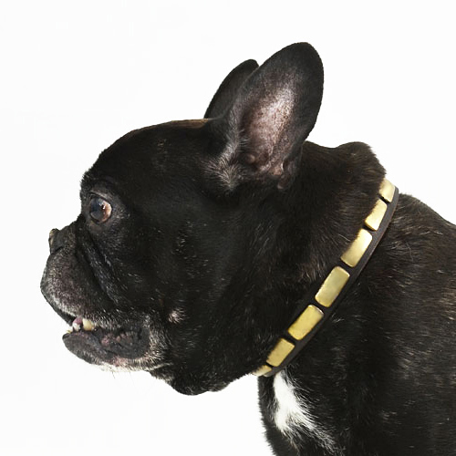 Leather Dog Collar with Brass Plates for French Bulldog Walks