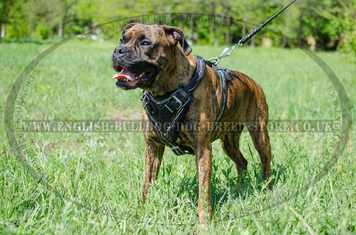 Boxer Dog Chest Harness Leather with Barbed Wire Handpainting