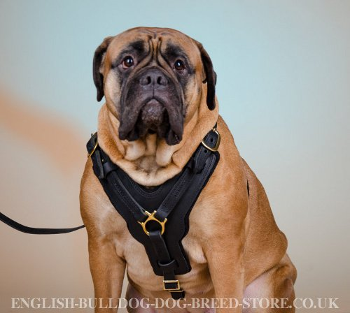 Large Leather Dog Harness Soft Felt Padded for Bullmastiff