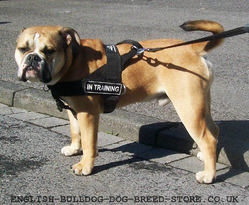 Continental Bulldog Nylon Harness with Patches Multi-Purpose Use