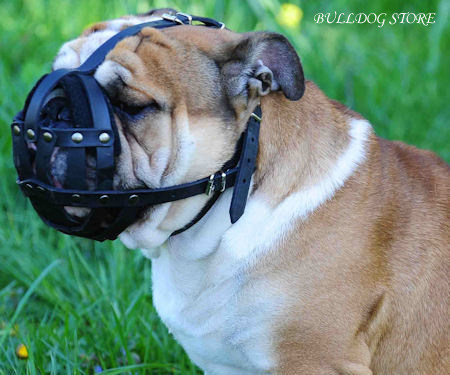 Dog Muzzle for Olde English Bulldog of Natural Leather