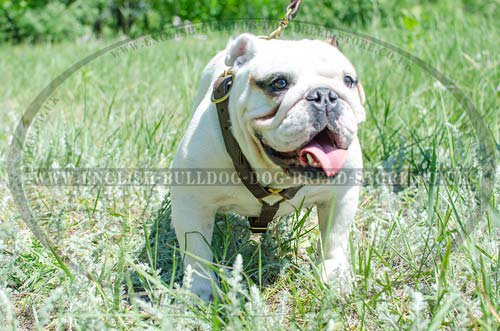 Leather Dog Harness UK for English Bulldog Tracking and Walking