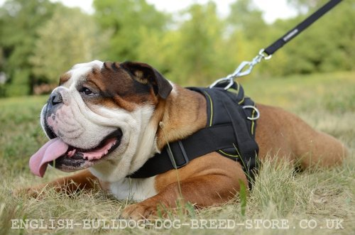 English Bulldog Down Dog Command Training