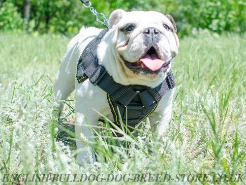 English Bulldog Dog Harness
