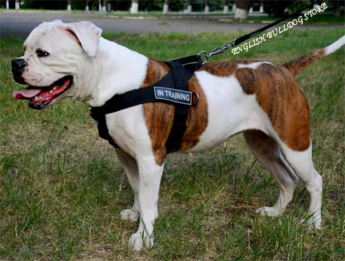 Weight Pulling Harness for American Bulldog