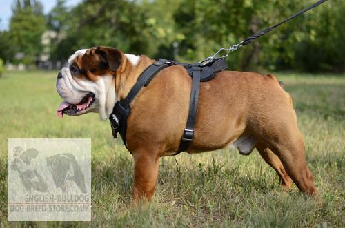 British Bulldog Harness UK