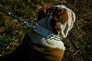 Dazzling White Leather Dog Collar Spiked for English Bulldog